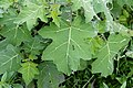 Solanum xanthocarpum 9909.jpg