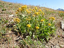 Goldenrod - Wikipedia Solidago Canadensis Leaf