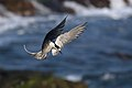Sooty Tern (Onychoprion fuscatus) (38663721366).jpg