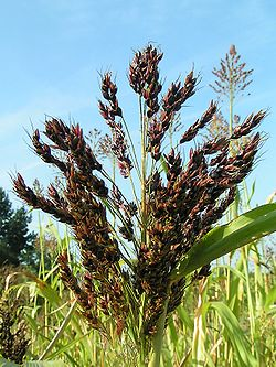 http://upload.wikimedia.org/wikipedia/commons/thumb/8/84/Sorghum_bicolor03.jpg/250px-Sorghum_bicolor03.jpg