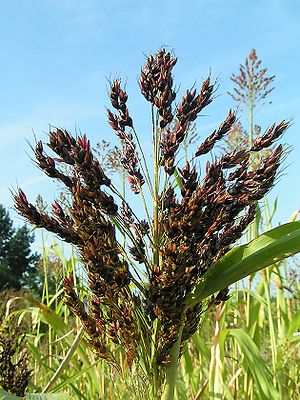 Sorghum bicolor