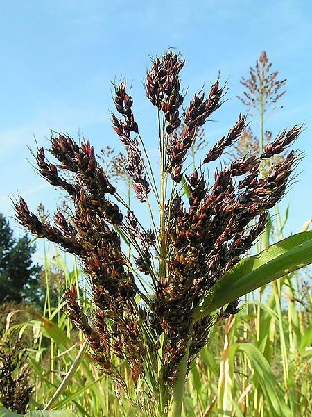 Sorghum bicolor from wikimedia
