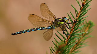 Southern hawker species of insect