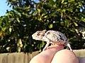 Southern dwarf chameleon.jpg