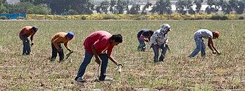Plantation d'asperges en Basse-Californie. (définition réelle 5136×1917)