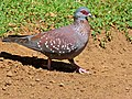 Speckled Pigeon (Columba guinea) (7034712403).jpg