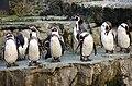 Spheniscus humboldti -Chester Zoo, England-8a.jpg