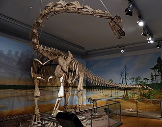 Spinophorosaurus - Reconstructed skeleton in the Naturkundemuseum Braunschweig; the fossils on the floor are authentic