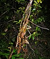 Spiny Stick Insects (Haaniella saussurei) mating (6749447693).jpg