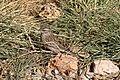 Spizella passerina (29574405830).jpg