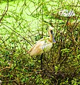 Spoonbill-at-gudavi.jpg