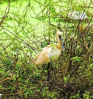 Gudavi Bird Sanctuary - Eurasian Spoonbill