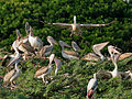 Spot-billed Pelican (Pelecanus philippensis) coming with feed W IMG 7302.jpg