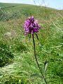 Stachys officinalis (massif des Vosges).jpg