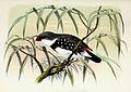 Stagonopleura guttata 1873.jpg