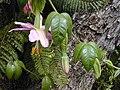 Starr-010423-0060-Passiflora tarminiana-flowers-Kula-Maui (24164659159).jpg