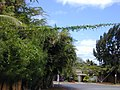 Starr-010424-0031-Coccinia grandis-on powerline-Maui Meadows Kihei-Maui (24423936382).jpg
