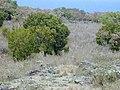 Starr-010726-0097-Murraya paniculata-naturalized in pasture-Kaupo-Maui (24424609642).jpg