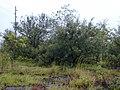 Starr-011205-0115-Grevillea banksii-habit-Hwy11 Kapapala-Hawaii (24435648352).jpg