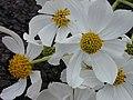 Starr-020103-0010-Montanoa hibiscifolia-flowers-old Kula Rd-Maui (23917380844).jpg