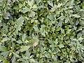 Starr-020108-0001-Erigeron karvinskianus-rank vegetative growth-Makawao near cemetery-Maui (23919233783).jpg