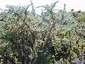 Starr-020701-0006-Ulex europaeus-Tetranychus lintearrus gorse biocontrol webbing-HNP nr research-Maui (23923743783).jpg