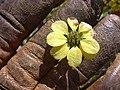 Starr-040331-0100-Zinnia peruviana-yellow flower-Kanaio-Maui (24606954821).jpg