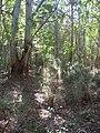 Starr-041219-1658-Eucalyptus sp-trail-Makawao Forest Reserve-Maui (24603786892).jpg