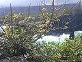 Starr-050406-0225-Schinus terebinthifolius-habit-Moku Mana-Maui (24743358785).jpg