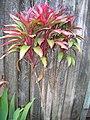 Starr-060916-8968-Cordyline fruticosa-small red form-Makawao-Maui (24839145676).jpg