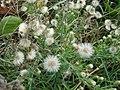 Starr-061017-1196-Conyza bonariensis-habit-Cove Park Kihei-Maui (24841527546).jpg