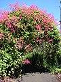 Starr-071024-0281-Antigonon leptopus-flowering habit-Enchanting Floral Gardens of Kula-Maui (24800974091).jpg