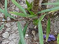 Starr-080531-4975-Ruellia brittoniana-flower and leaves in garden-4208 Commodore Ave Sand Island-Midway Atoll (24793103722).jpg
