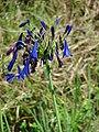 Starr-090520-8154-Agapanthus praecox subsp orientalis-deep purple flowers-Keokea-Maui (24929602996).jpg