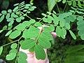 Starr-090623-1476-Adenanthera pavonina-seedling-Nahiku-Maui (24339784043).jpg
