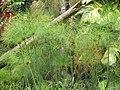 Starr-090623-1585-Cyperus papyrus-flowering habit-Kaeleku-Maui (24873596991).jpg