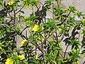 Starr-090806-4006-Turnera ulmifolia-flowering habit-Kahului-Maui (24878420841).jpg
