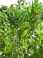 Starr-090814-4381-Filicium decipiens-leaves-Puanani o Kula nursery Kihei-Maui (24604732269).jpg