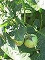 Starr-091020-8383-Solanum muricatum-fruit and leaves-Kula Experiment Station-Maui (24359619663).jpg