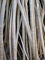 Starr-091104-0750-Pandanus tectorius-prop roots-Kahanu Gardens NTBG Kaeleku Hana-Maui (24869543902).jpg