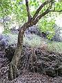 Starr-091115-1163-Aleurites moluccana-trunk-Olinda-Maui (24359375374).jpg