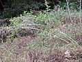 Starr-091115-1270-Rubus niveus-habit-Olinda-Maui (24990123215).jpg