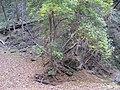 Starr-091115-1286-Fraxinus uhdei-habit fall foliage with Forest-Olinda-Maui (24694650820).jpg