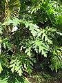 Starr-110215-1485-Carica papaya-habit-Kihei-Maui (24708703819).jpg