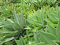 Starr-110307-2955-Agave attenuata-habit-Kula Botanical Garden-Maui (24985763711).jpg