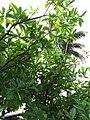 Starr-110330-3661-Fagraea berteroana-fruit and leaves-Garden of Eden Keanae-Maui (24449917084).jpg