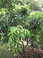 Starr-110330-3806-Dimocarpus longan-habit-Garden of Eden Keanae-Maui (25080761975).jpg