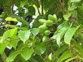 Starr-110330-4038-Canarium ovatum-fruit and leaves-Garden of Eden Keanae-Maui (24454279393).jpg