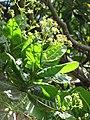 Starr-110330-4040-Anacardium occidentale-flowers and leaves-Garden of Eden Keanae-Maui (25081151525).jpg