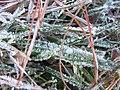 Starr-130307-1644-Holcus lanatus-habitat and frost-Greenhouse HNP-Maui (25088196552).jpg